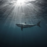 Μεγάλος άσπρος καρχαρίας υποβρύχιος Στοκ εικόνες με δικαίωμα ελεύθερης χρήσης