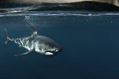 Μεγάλος άσπρος καρχαρίας υποβρύχιος Στοκ Εικόνες