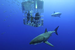 Μεγάλος άσπρος καρχαρίας στοκ φωτογραφία με δικαίωμα ελεύθερης χρήσης
