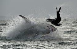 Μεγάλος άσπρος καρχαρίας (carcharias Carcharodon) που παραβιάζει σε μια επίθεση Στοκ Εικόνες