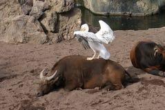 Μεγάλος άσπρος πελεκάνος - onocrotalus Pelecanus Στοκ εικόνες με δικαίωμα ελεύθερης χρήσης