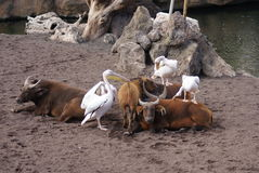 Μεγάλος άσπρος πελεκάνος - onocrotalus Pelecanus Στοκ Φωτογραφίες