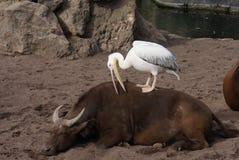 Μεγάλος άσπρος πελεκάνος - onocrotalus Pelecanus Στοκ εικόνα με δικαίωμα ελεύθερης χρήσης