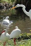 Μεγάλος άσπρος τσικνιάς με τις θρεσκιόρνιθες στους υγρότοπους μιας Φλώριδας Στοκ Φωτογραφία