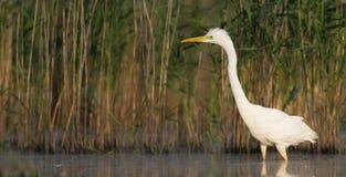 Μεγάλος άσπρος τσικνιάς - Egretta alba/Ardea alba Στοκ εικόνα με δικαίωμα ελεύθερης χρήσης