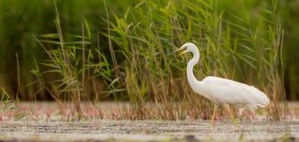 Μεγάλος άσπρος τσικνιάς - Egretta alba/Ardea alba Στοκ Εικόνα
