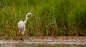 Μεγάλος άσπρος τσικνιάς - Egretta alba/Ardea alba Στοκ φωτογραφίες με δικαίωμα ελεύθερης χρήσης