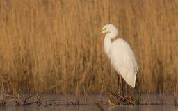 Μεγάλος άσπρος τσικνιάς - Egretta alba/Ardea alba Στοκ Εικόνες