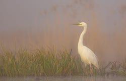 Μεγάλος άσπρος τσικνιάς - Egretta alba/Ardea alba Στοκ φωτογραφία με δικαίωμα ελεύθερης χρήσης
