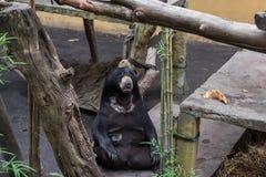 Μεγάλος ένας καφετής αντέχει στο τροπικό πάρκο ζωολογικών κήπων του Μπαλί, Ινδονησία Στοκ εικόνες με δικαίωμα ελεύθερης χρήσης