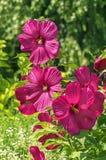 Μεγάλος-ανθισμένα Hibiscus θάμνων λουλούδια Στοκ φωτογραφία με δικαίωμα ελεύθερης χρήσης