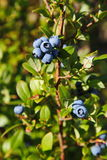 Μεγάλος ανοικτό μπλε κήπος βακκινίων μούρων, που αυξάνεται μια δέσμη και ένα κρυμμένο πράσινο φύλλωμα στους κλάδους ενός θάμνου Στοκ εικόνα με δικαίωμα ελεύθερης χρήσης