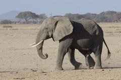 Μεγάλος αρσενικός αφρικανικός ελέφαντας που περπατά μέσω μιας ξηράς σαβάνας επάνω Στοκ Εικόνες