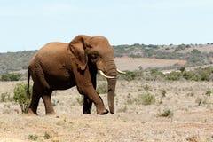 Μεγάλος αρσενικός αφρικανικός ελέφαντας του Μπους Στοκ εικόνα με δικαίωμα ελεύθερης χρήσης