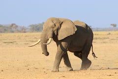 Μεγάλος αρσενικός αφρικανικός ελέφαντας Στοκ Φωτογραφίες