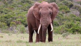 Μεγάλος αρσενικός αφρικανικός ελέφαντας απόθεμα βίντεο