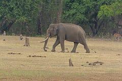 Μεγάλος αρσενικός ελέφαντας στην όχθη ποταμού Στοκ εικόνα με δικαίωμα ελεύθερης χρήσης
