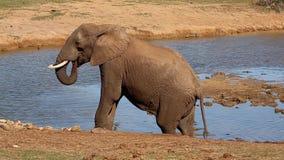 Μεγάλος αφρικανικός ελέφαντας που περπατά σε ένα waterhole απόθεμα βίντεο