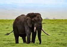 Μεγάλος αφρικανικός ελέφαντας ταύρων που περιπλανάται το αφρικανικό serengeti Στοκ Εικόνα