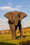 Μεγάλος αφρικανικός ελέφαντας, africana Loxodonta, το νερό Chobe, Ναμίμπια Στοκ φωτογραφία με δικαίωμα ελεύθερης χρήσης