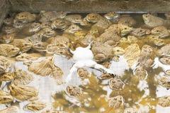 Μεγάλος βάτραχος Στοκ Εικόνα