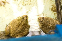 Μεγάλος βάτραχος Στοκ εικόνες με δικαίωμα ελεύθερης χρήσης
