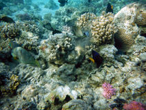 Μεγάλος βυθός κοραλλιογενών υφάλων Στοκ Φωτογραφία