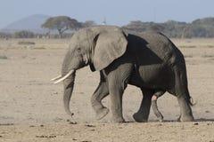 Μεγάλος ενήλικος αρσενικός αφρικανικός ελέφαντας που περπατά μέσω του ξηρού savann Στοκ φωτογραφία με δικαίωμα ελεύθερης χρήσης