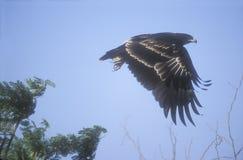 Μεγάλος-επισημασμένος αετός, clanga Aquila Στοκ Εικόνες