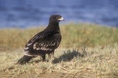 Μεγάλος-επισημασμένος αετός, clanga Aquila Στοκ φωτογραφίες με δικαίωμα ελεύθερης χρήσης
