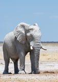 Μεγάλος λευκός ελέφαντας στοκ φωτογραφία