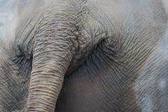 Μεγάλος ελέφαντας με την ουρά του closeup Στοκ Φωτογραφία