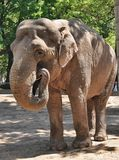 Μεγάλος ελέφαντας με τους χαυλιόδοντες Στοκ Φωτογραφία