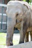 Μεγάλος ελέφαντας με το ζαρωμένο γκρίζο δέρμα Στοκ εικόνα με δικαίωμα ελεύθερης χρήσης