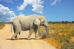 Μεγάλος ελέφαντας που περπατά πέρα από έναν ξηρό σκονισμένο δρόμο σε Etosha με τον μπλε δονούμενο ουρανό Στοκ εικόνες με δικαίωμα ελεύθερης χρήσης