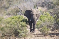 Μεγάλος ελέφαντας που πλησιάζει έναν δρόμο με τους χαυλιόδοντες Στοκ Εικόνες