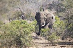Μεγάλος ελέφαντας που πλησιάζει έναν δρόμο με τους χαυλιόδοντες Στοκ εικόνες με δικαίωμα ελεύθερης χρήσης