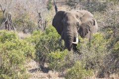 Μεγάλος ελέφαντας που πλησιάζει έναν δρόμο με τους χαυλιόδοντες Στοκ Φωτογραφίες