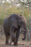 Μεγάλος ελέφαντας που πλησιάζει κατά μήκος ενός κορμού οδικών χαυλιοδόντων Στοκ φωτογραφία με δικαίωμα ελεύθερης χρήσης
