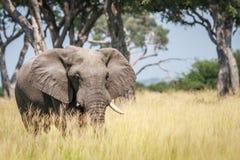 Μεγάλος ελέφαντας που στέκεται στην υψηλή χλόη Στοκ Φωτογραφίες