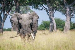 Μεγάλος ελέφαντας που στέκεται στην υψηλή χλόη Στοκ εικόνα με δικαίωμα ελεύθερης χρήσης