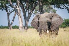 Μεγάλος ελέφαντας που στέκεται στην υψηλή χλόη Στοκ Εικόνες
