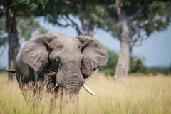 Μεγάλος ελέφαντας που στέκεται στην υψηλή χλόη Στοκ φωτογραφίες με δικαίωμα ελεύθερης χρήσης