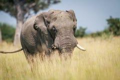 Μεγάλος ελέφαντας που στέκεται στην υψηλή χλόη Στοκ Φωτογραφία