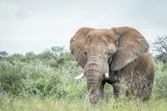 Μεγάλος ελέφαντας που στέκεται στην υψηλή χλόη Στοκ Εικόνα