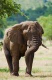 Μεγάλος ελέφαντας που στέκεται στη σαβάνα Αφρική Κένυα Τανζανία serengeti Maasai Mara Στοκ Φωτογραφίες
