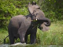 Μεγάλος ελέφαντας που στέκεται στο νερό και 0 Αφρική Κένυα Τανζανία serengeti Maasai Mara Στοκ φωτογραφίες με δικαίωμα ελεύθερης χρήσης