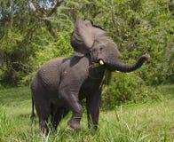 Μεγάλος ελέφαντας που στέκεται στο νερό και 0 Αφρική Κένυα Τανζανία serengeti Maasai Mara Στοκ εικόνες με δικαίωμα ελεύθερης χρήσης