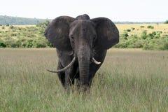 Μεγάλος ελέφαντας σε μια εθνική επιφύλαξη Στοκ φωτογραφίες με δικαίωμα ελεύθερης χρήσης