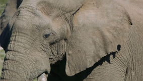 Μεγάλος ελέφαντας στη Νότια Αφρική απόθεμα βίντεο